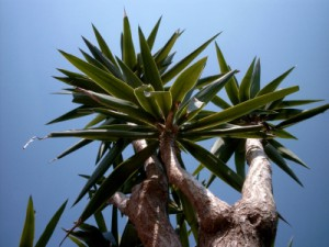 Yucca Palme Pflege - Yucca Palme vermehren