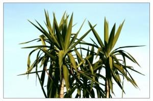 Yucca Palme Pflege