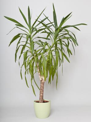 Yucca Palme Pflege - Yucca palme kürzen